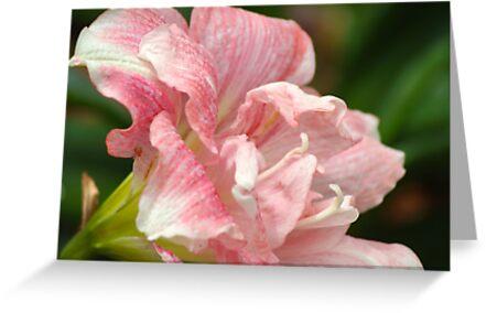 Pink Blush by 365Londontown