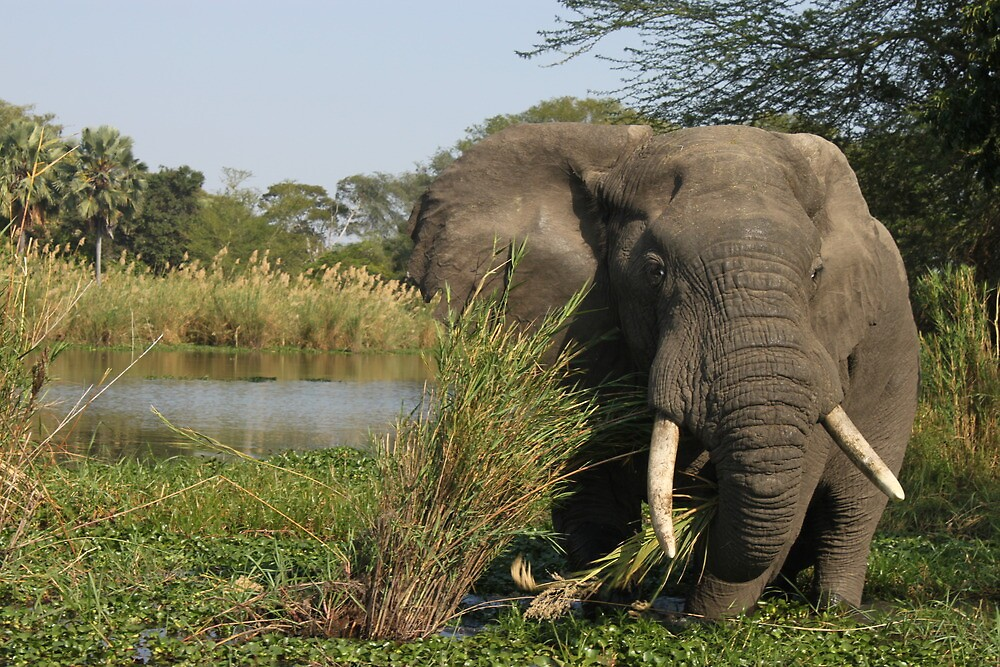 Elephant Eating in Malawi  by cat-sass-artist