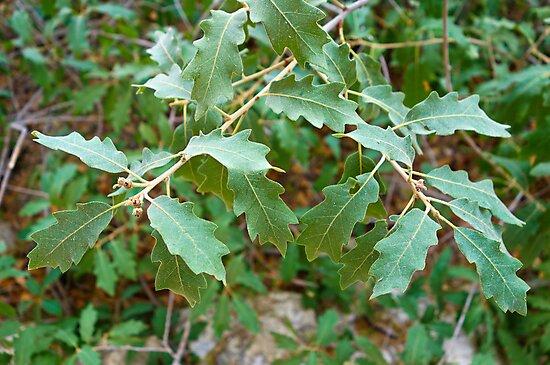 Havard Oak Branch by Robert Meyers-Lussier