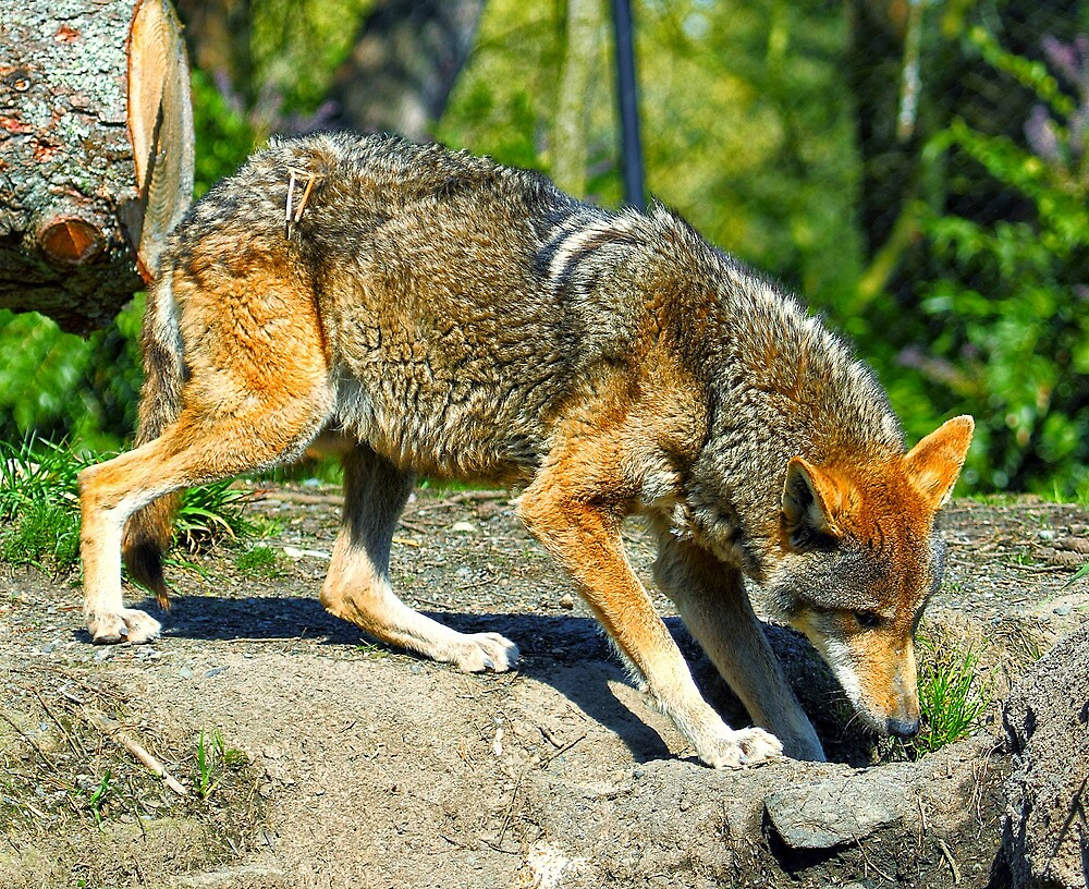 Red Wolf by RandyHume