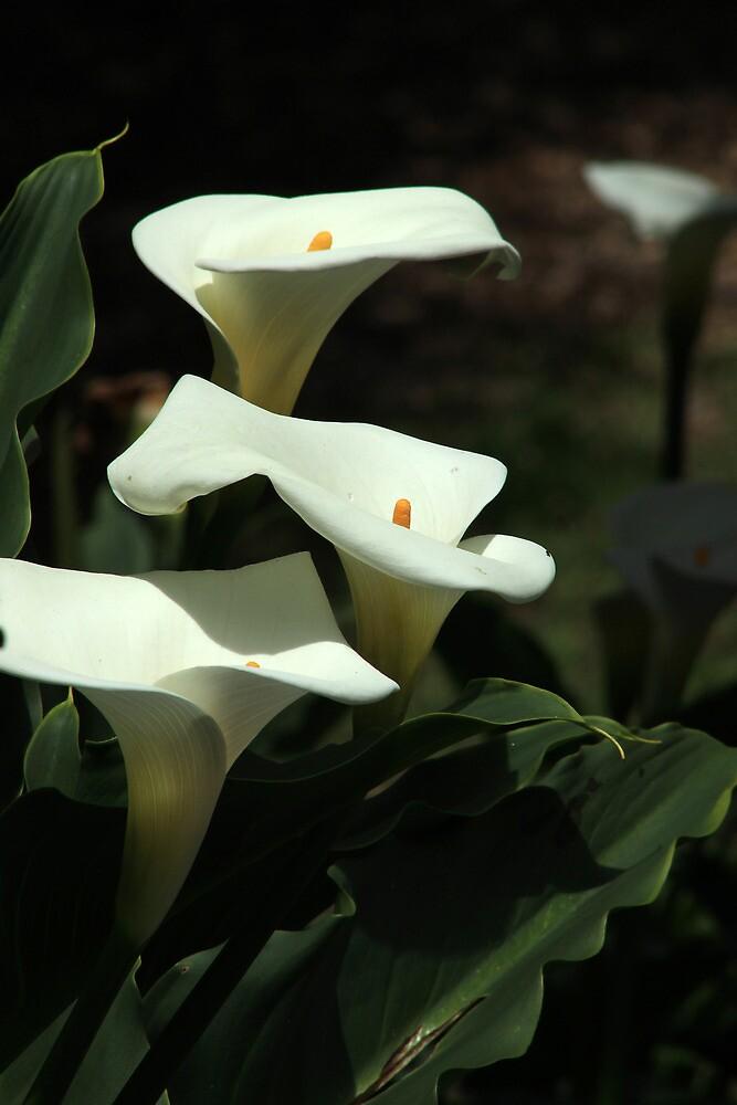 Calla Lilies in a Garden by rhamm