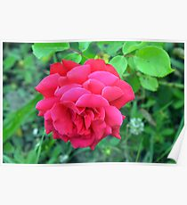 Pink rose and green leaves, natural background. Poster
