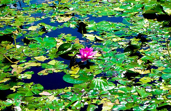 Water Lilly and Pads  by Robert Meyers-Lussier