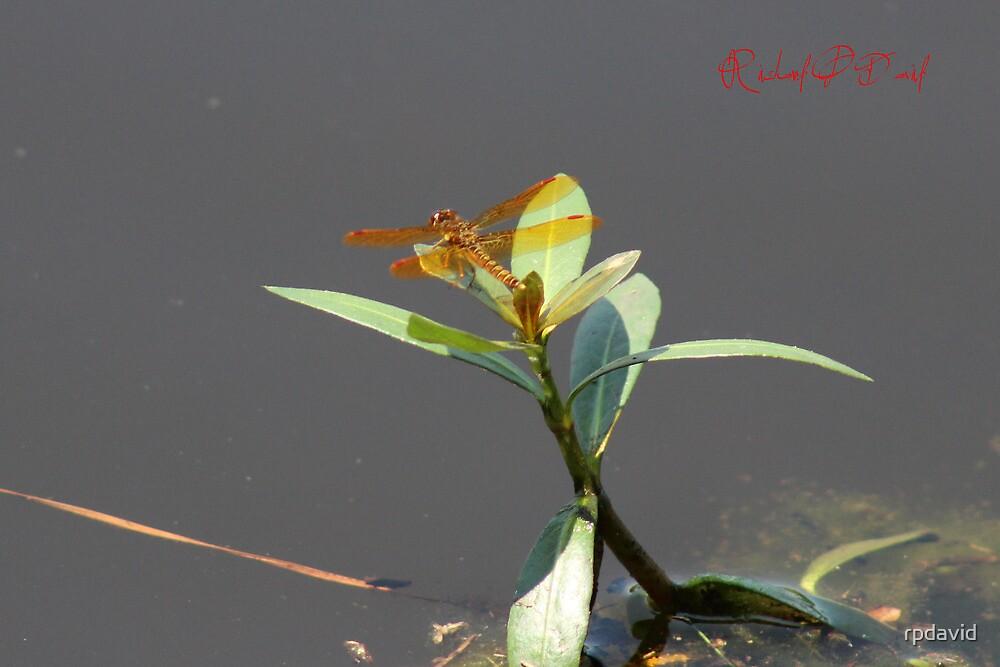 Eastern Amberwing (Perithemis tenera) by rpdavid
