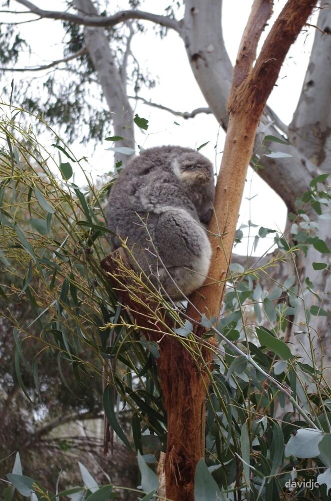 Koala at rest by davidjc