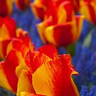 Tulips  by Cathy Jones