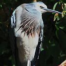White Faced  Heron   -  Diamond Creek - Melbourne by john  Lenagan