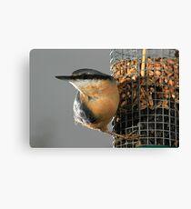 Nuthatch on bird feeder Canvas Print