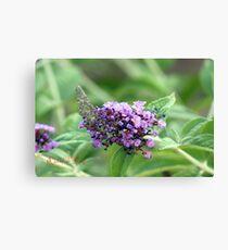 Butterfly-Bush (Buddleja davidii) Canvas Print