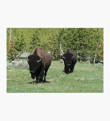 Two Bison Photographic Print