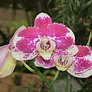 Pink and white orchids by Jackie Popp