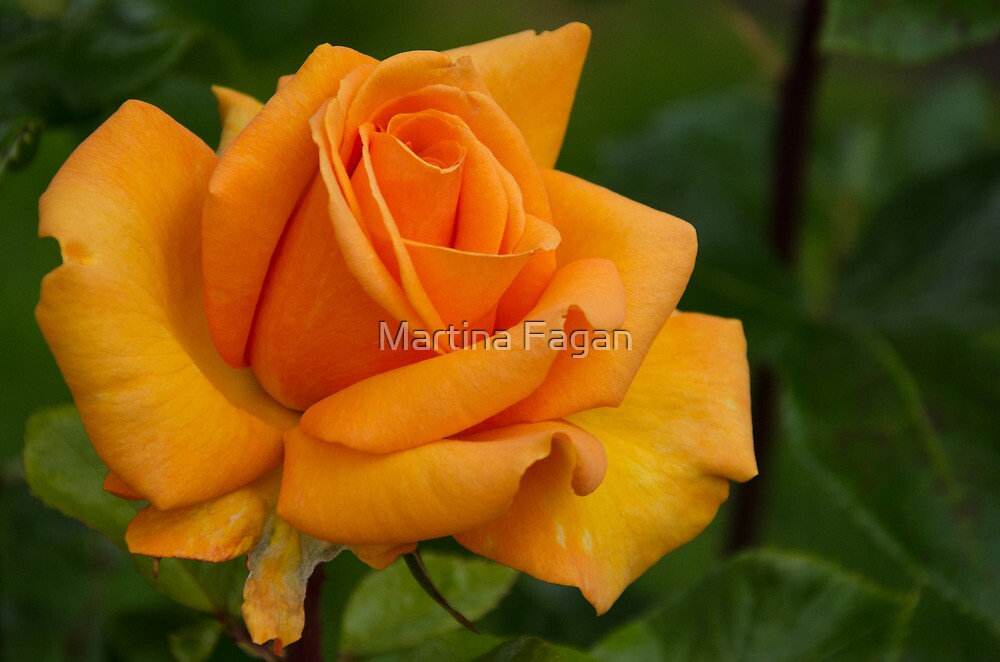 Rose by Martina Fagan