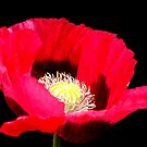 Red Poppy. by Livvy Young