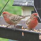 House finches by Jackie Popp