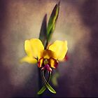 Fine Art Donkey Orchid - Landscape Orientation by Alana Stewart Photography