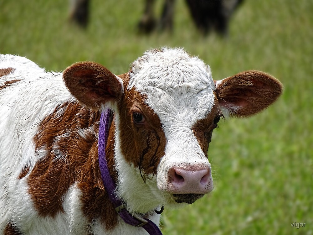 Curious Calf by vigor