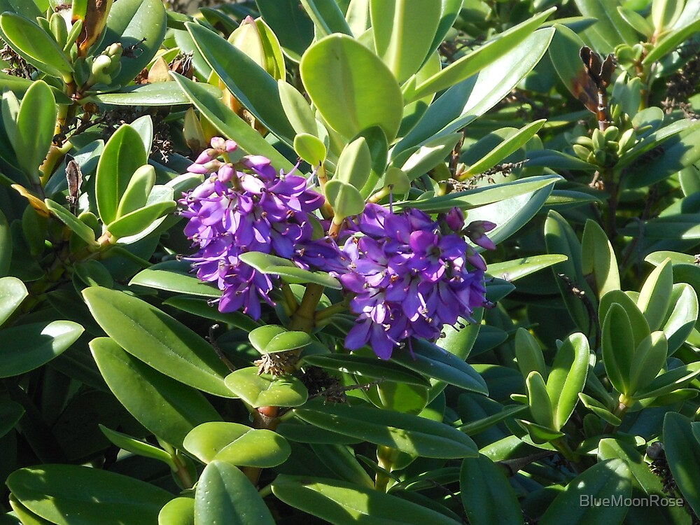 Vibrant Puple Blossoms - Rhododendron Ponticum by BlueMoonRose