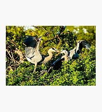 Great Blue Herons Battle Photographic Print