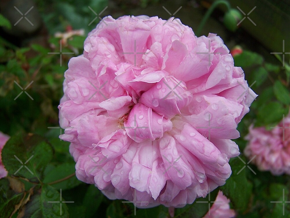 Pink Rose .. after the rain 6 by LoneAngel