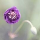 Purple Blossom With Bud by Alana Stewart Photography