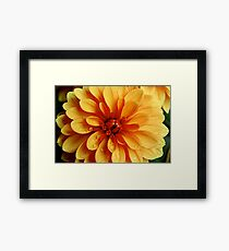 June Dahlia Framed Print