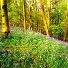 Bluebells. by Maybrick