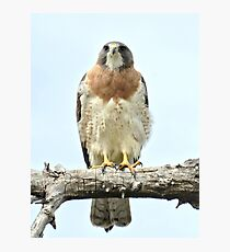 Wild Red Tail Hawk  Photographic Print