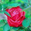 Summer Rose by Bob Martin