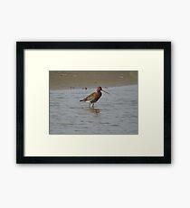 Black Tailed Godwit Framed Print