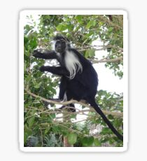 Colobus Monkey eating leaves in a tree Sticker