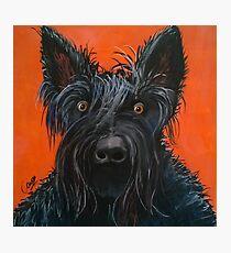 Fergus the Scottish Terrier Photographic Print