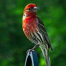 Purple Finch by browncardinal8