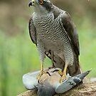 Goshawk with prey by Peter Wiggerman