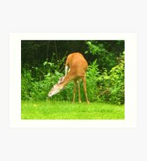 White-tailed Deer ~ Scratching The Itch Art Print