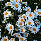 Daisies Along the Driveway by Tori Snow