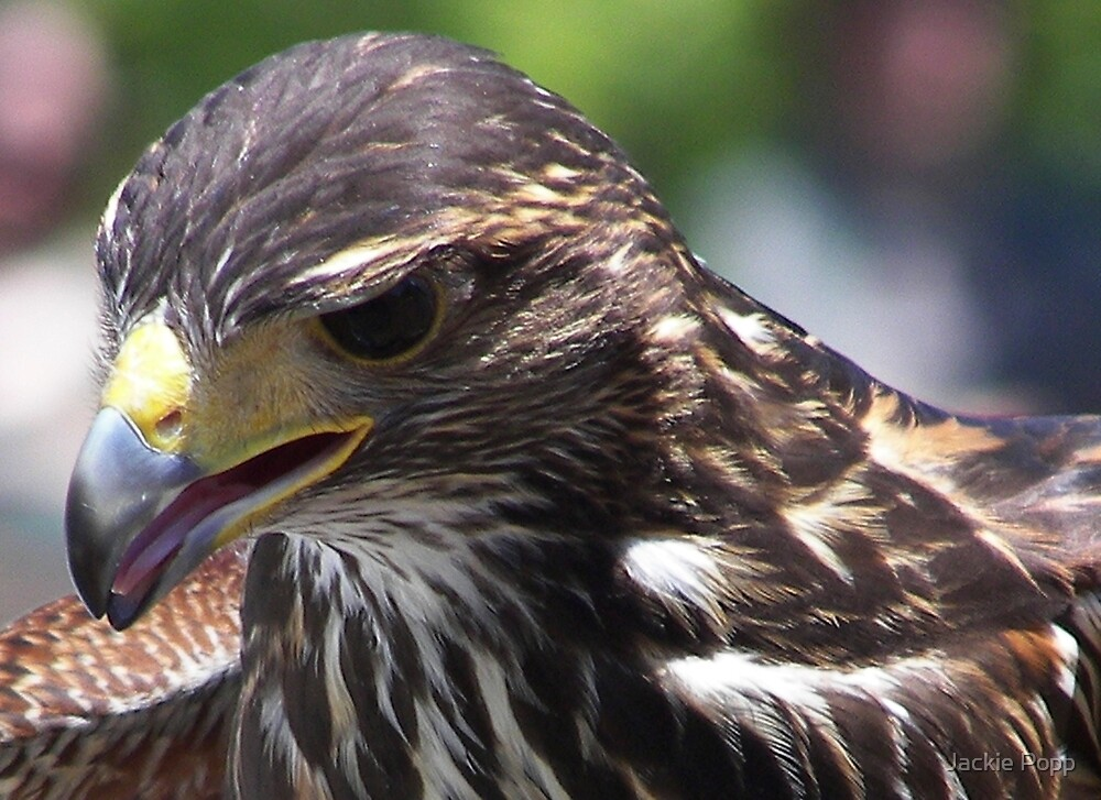 The Hawk by Jackie Popp