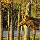 Male Elk Running by Jackie Popp