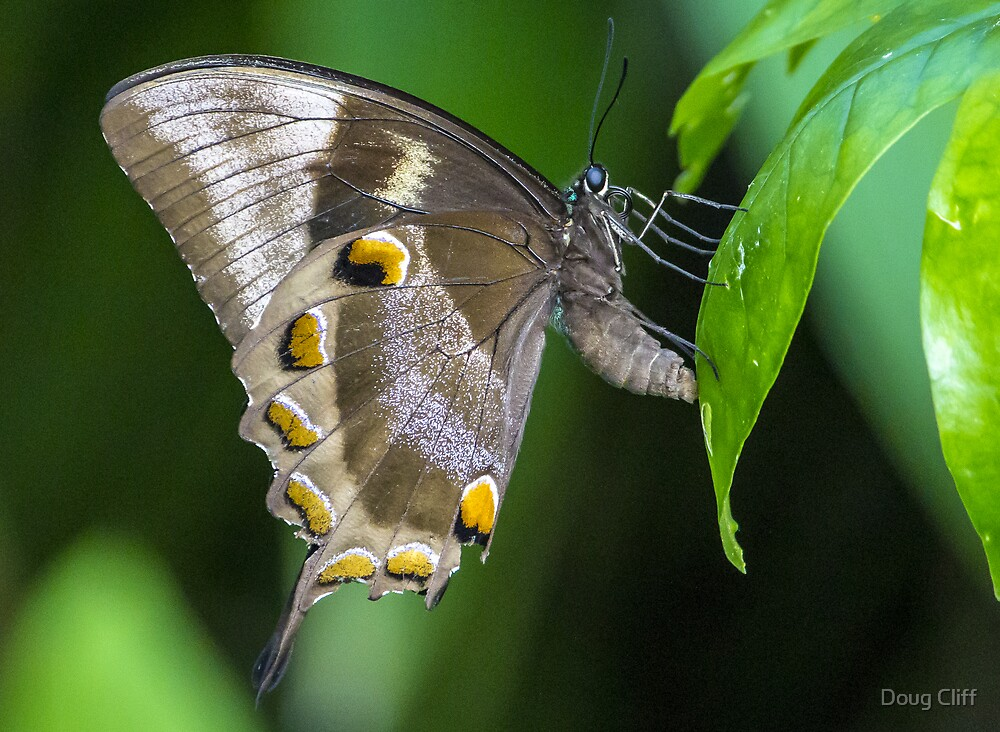 Papilio ulysses by Doug Cliff