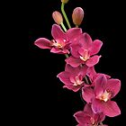 PINK ORCHIDS FOR JEAN by Shirley Kathan-Sayess