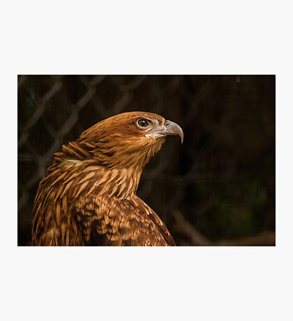 Whistling Kite 2 Photographic Print