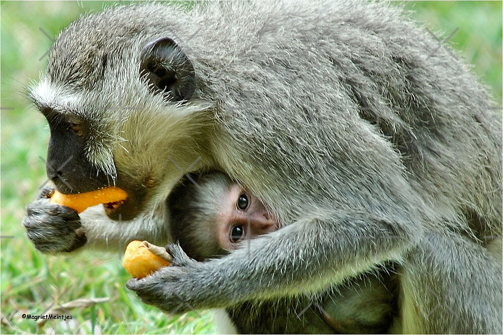 GROWN-UPS ALWAYS GETS THE BEST - Vervet Monkey, (CERCOPITHECUS PYGERYTHRUS) BLOU AAP by Magriet Meintjes