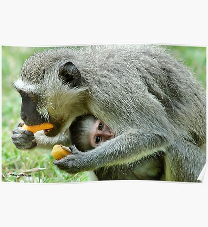 GROWN-UPS ALWAYS GETS THE BEST - Vervet Monkey, (CERCOPITHECUS PYGERYTHRUS) BLOU AAP Poster