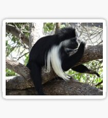 Colobus Monkey resting in a tree Sticker