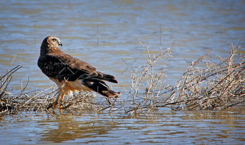 The Hawk by CarolM