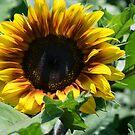 Magnificent Sunflower by Kim Austin