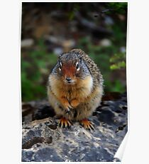 Richardson Ground Squirrel Poster