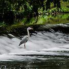 Heron in the Tolka River by Martina Fagan