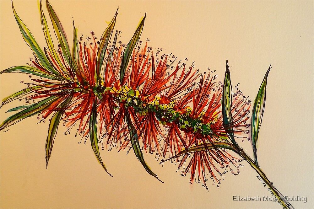 King's Park bottlebrush. Pen and wash. by Elizabeth Moore Golding