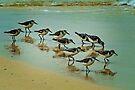 Sanderlings on Isla Mujeres beach by Yukondick
