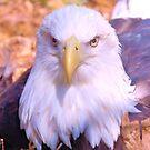 Resting Eagle 3 by ©Dawne M. Dunton